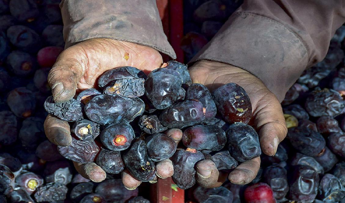 قیمت هر کیلو خرما در مبدا ۲۲ هزار تومان