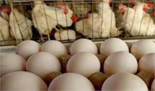 کاهش ۶ هزار تومانی نرخ هر کیلو تخم مرغ