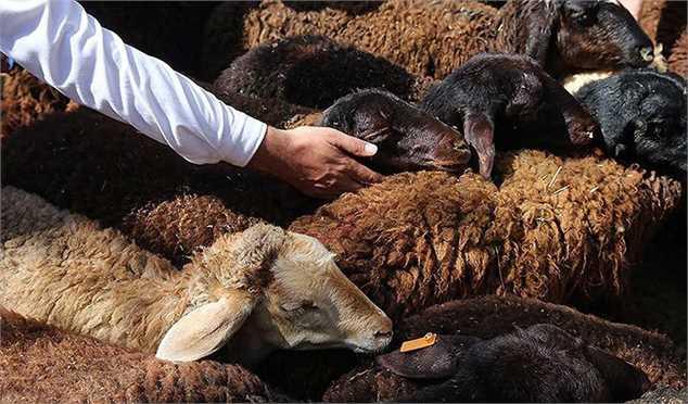 مصرف گوشت قرمز در کشور ۴۰ درصد کاهش یافت/ طرح آزاد سازی صادرات دام زنده با قیمت کیلویی ۳.۵ یورو