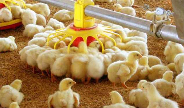تولید جوجه یک روزه ۱۰ درصد کاهش پیدا کرده است