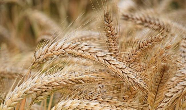 ورود گندم به چرخه خوراک دام اتفاق خطرناکی است