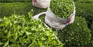 پیشبینی افزایش ۴ هزار تنی تولید برگ سبز چای با وجود کاهش بارندگیها
