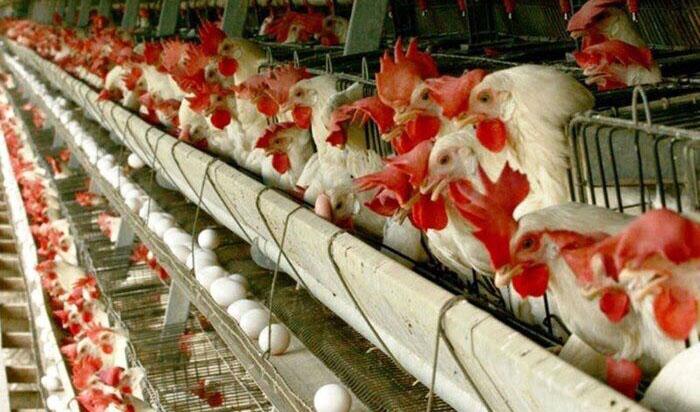 نژاد آرین، «مرغ اجداد» مورد نیاز کشور را تامین میکند