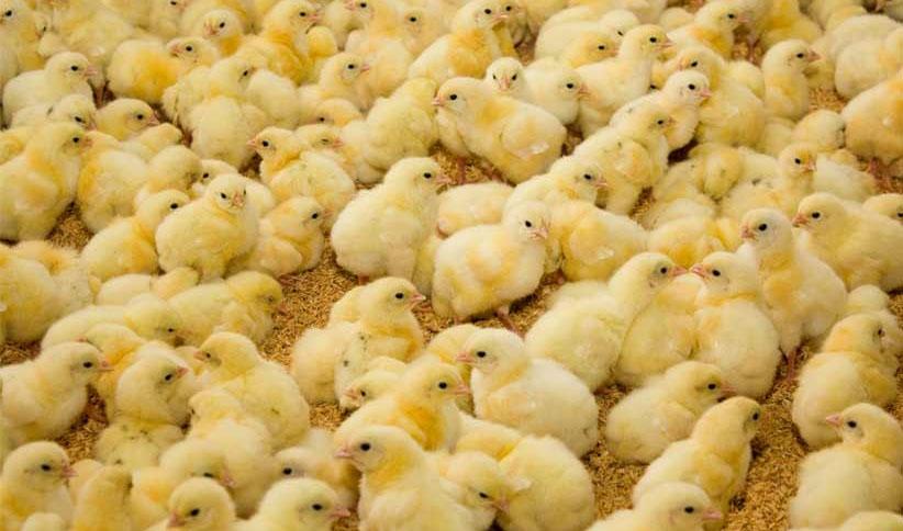 ضرورت برخورد با گرانفروشی جوجه یکروزه برای متعادل شدن بازار مرغ