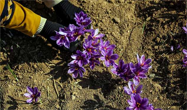 بیبرنامگی، بازار زعفران را از ایران خواهد گرفت