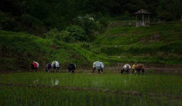 ۳۲۰۰ تن بذر گواهی شده برنج بین کشاورزان توزیع شد