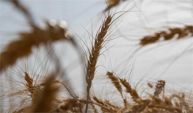 واردات ۵ میلیون تن گندم در راه است/ چرا خودکفایی گندم شکست خورد؟