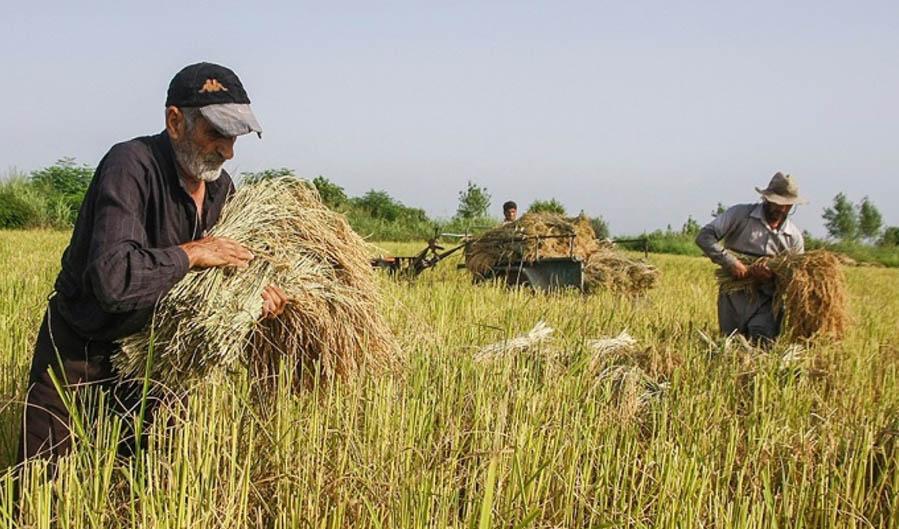 کاهش بیماریهای گندم و جو در سال ۱۴۰۰