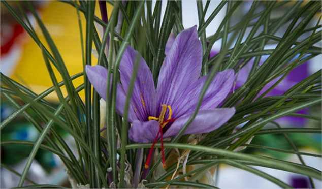 تولید و صادرات زعفران بدون استراتژی