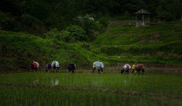 معرفی ۷ رقم جدید برنج در هشت سال اخیر