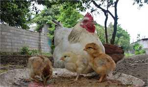 حذف ۸ میلیون مرغ مولد از ابتدای امسال/ بیتوجهی دولت به هشدارهای مرغداران