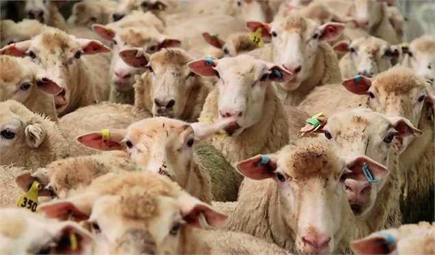 قاچاق دامهای مولد به عراق/ خرید حمایتی دام استانهای درگیر خشکسالی حاد