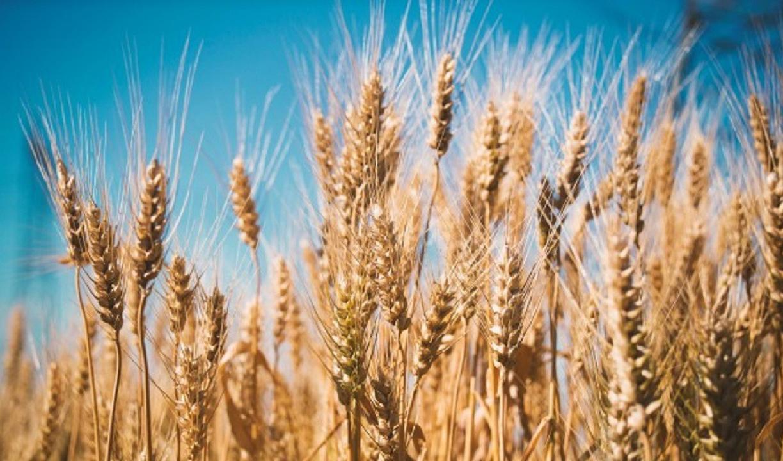 آسیب جدی کاهش بارش به دیمزارهای گندم/افت ۲۱ درصدی خرید تضمینی گندم نسبت به پارسال