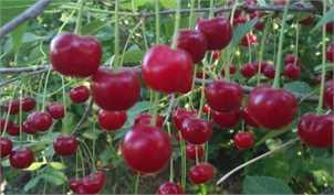 باغداران آلبالو را ارزانتر از پارسال میفروشند/ بیانصافی آبمیوهسازان