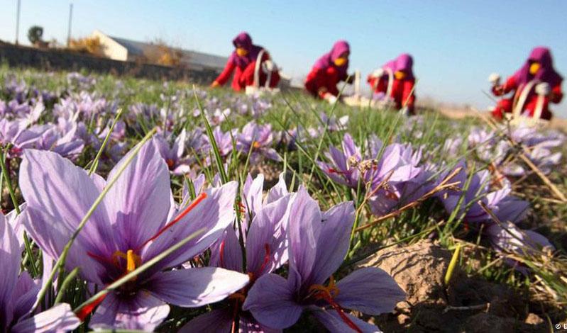بازار زعفران تعریفی ندارد/ حداکثر قیمت هر مثقال زعفران ۷۰ هزار تومان