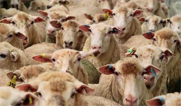 افزایش کاذب قیمت گوشت قرمز از ابتدای هفته/ به رغم نزدیکی عیدقربان، عرضه دام بیش از کشش بازار است