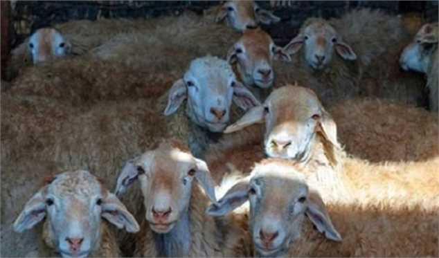 کاهش تقاضای خرید دام زنده در عید قربان سالجاری/ متوسط قیمت هر کیلوگرم دام حدود ۵۸ هزار تومان