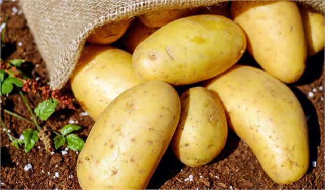 5600 تن سیبزمینی کشاورزان استان گلستان خرید حمایتی شد