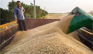 خرید ۴ میلیون تن گندم تا ۲۸ تیر ماه/ ۹۲ درصد از پول گندمکاران پرد