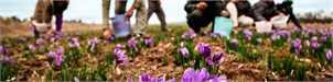 ۷۰ درصد زعفران کاران خرده مالک هستند/ کاهش تولید زعفران را نمی توان پیش بینی کرد