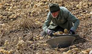 جزئیات طرح خرید حمایتی سیبزمینی از کشاورزان
