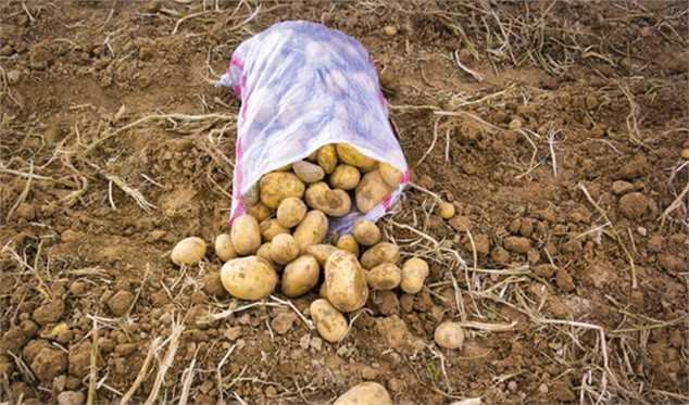 طرح تعاون روستایی برای جایگزینی سیب زمینیهای مازاد به عنوان خوراک دام