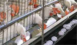کشتار گسترده مرغها منجر به افزایش قیمت تخممرغ شد