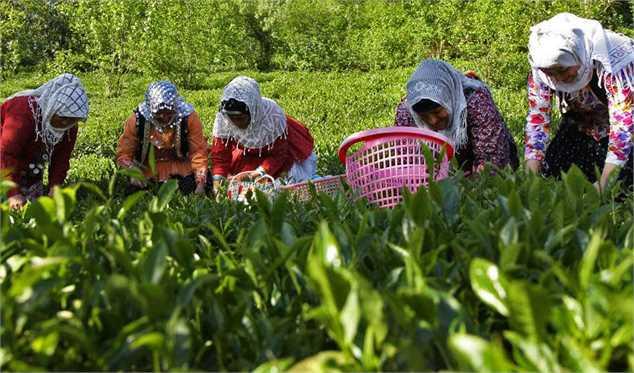 خرید تضمینی برگ سبز چای به ۹۳ هزار و ۸۰۰ تن رسید/ پرداخت ۷۱ درصد مطالبات چایکاران