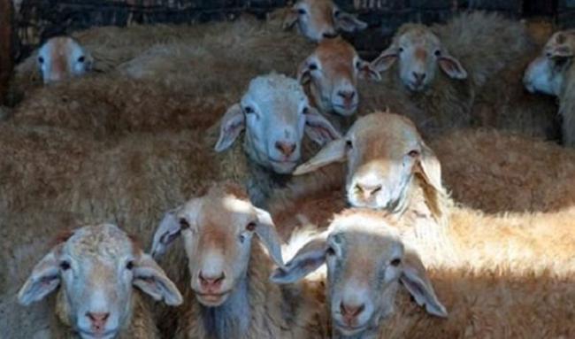 قاچاق خوراک دام از کشور از مجاری قانونی