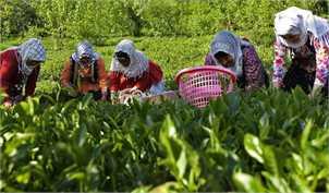 رشد ۲۳ درصدی خرید برگ سبز چای از چایکاران