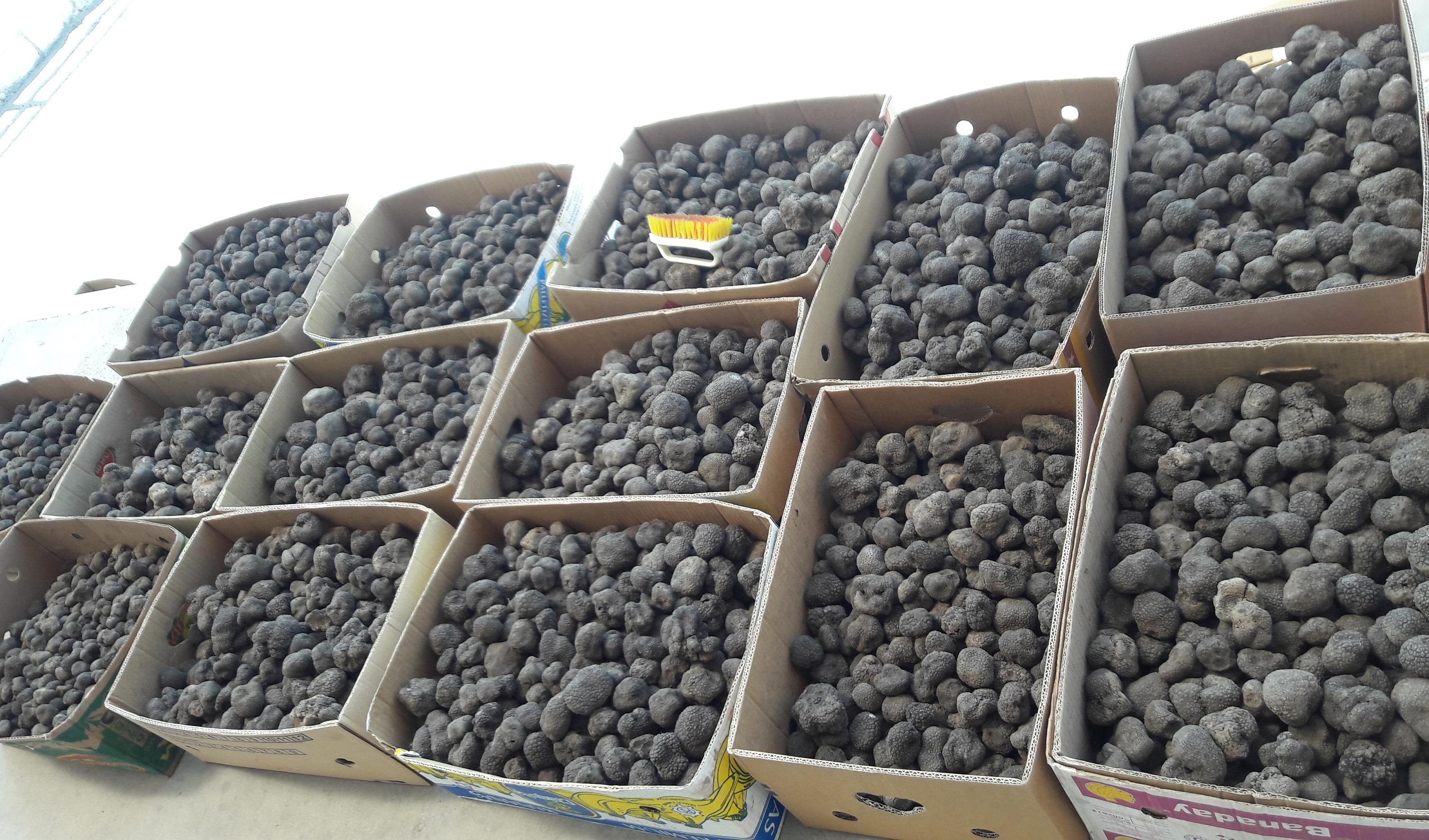 ممانعت از قاچاق چند میلیون یورویی قارچ سیاه