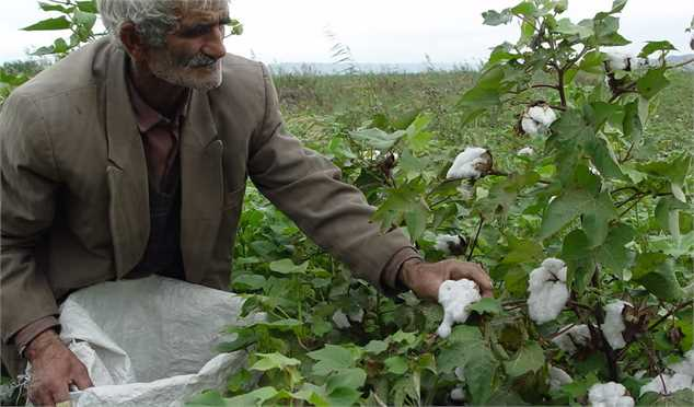 لزوم مبارزه بهموقع کشاورزان با آفت کرم غوزه پنبه در شرایط خشکسالی