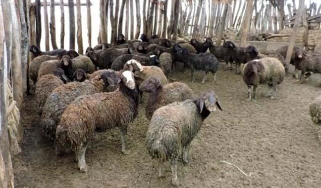 تاثیر ۵۰ تا ۶۰ درصدی تصمیمات وزارت کشاورزی در افزایش قیمت گوشت/ ۶ میلیون دام سبک مازاد داریم