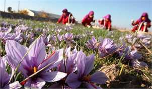 احتمال کاهش تولید زعفران در پی کاهش بارشها