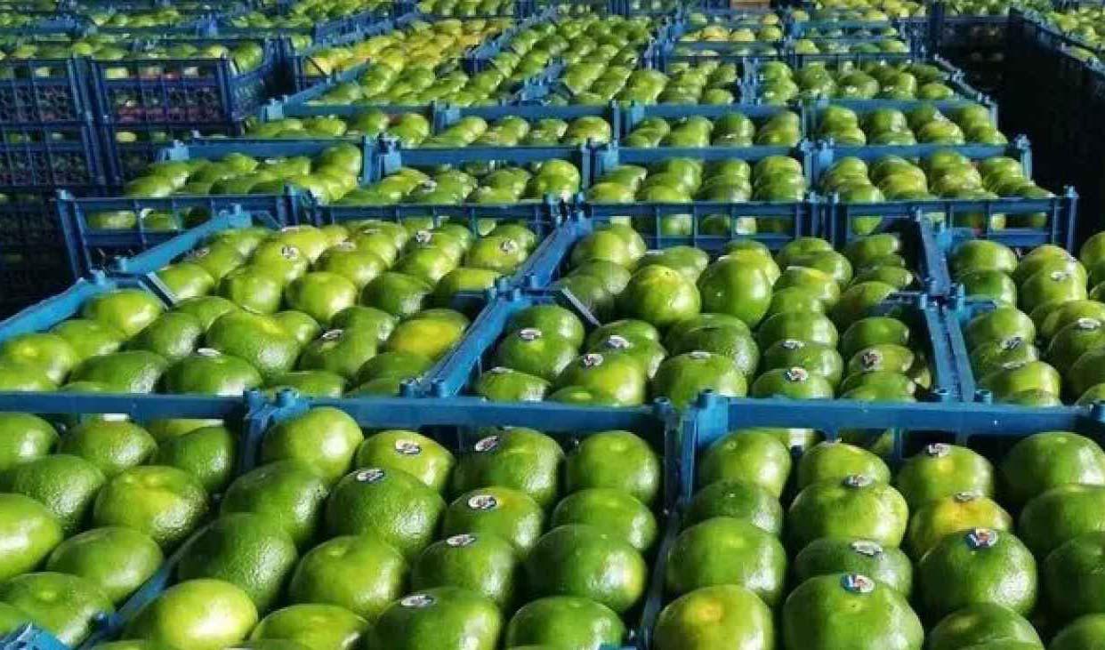 چیدن نارنگی سبز متوقف شد/ افزایش ۲۰ تا ۳۰ درصدی قیمت میوه نسبت به سال گذشته