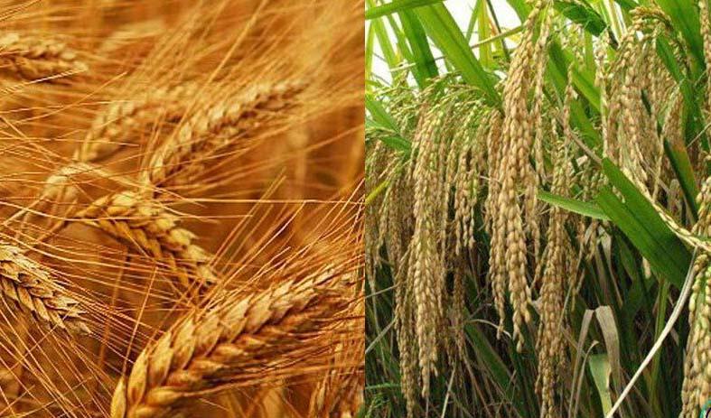کاهش شدید قیمت جهانی گندم و برنج