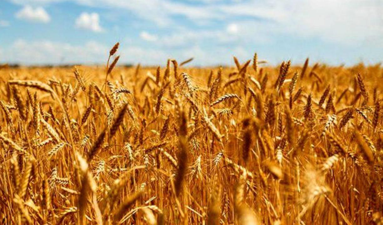 برآورد خرید تضمینی گندم سال زراعی جدید ۱۰ میلیون تن است