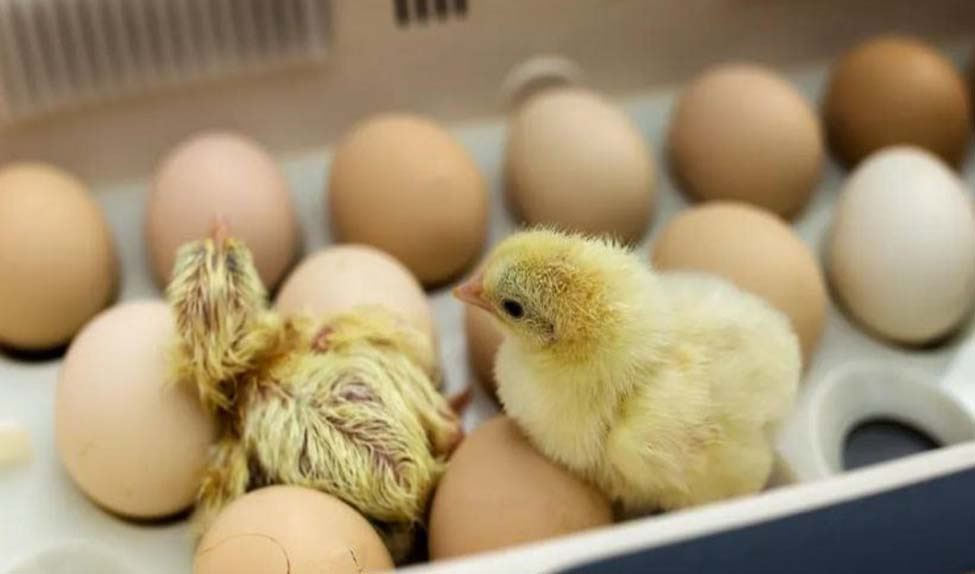 خیز وزارت جهادکشاورزی برای واردات ۹۵ میلیون تخممرغ نطفهدار