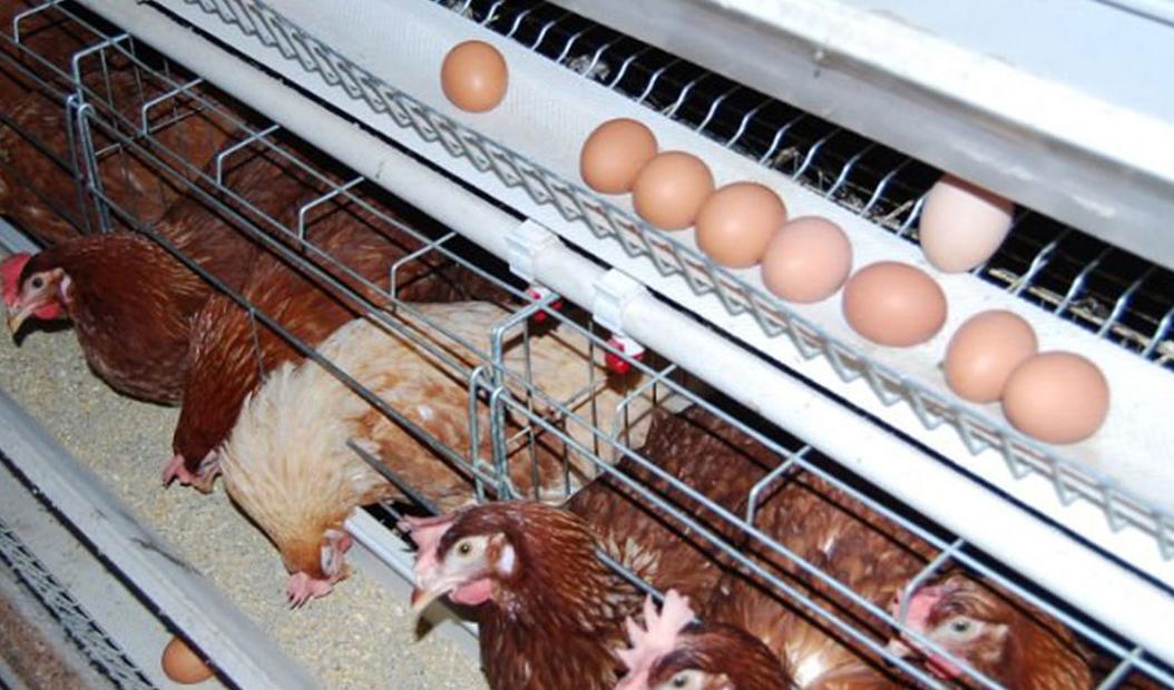 جوجهریزی مرغ مادر تا یک سوم کاهش یافت/ واحدهای تولیدی مشکل کمبود نهادههای دامی را ندارند